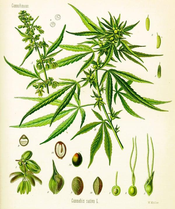 cannabis_sativa_marihuana