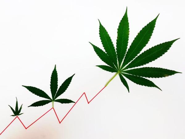 crecimiento-cannabis